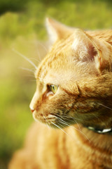 Portrait of red cat
