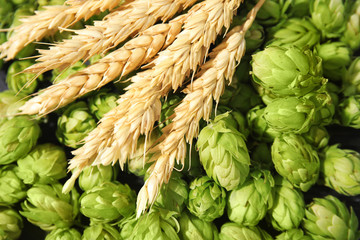 Fresh green hops and wheat spikes as background. Beer production