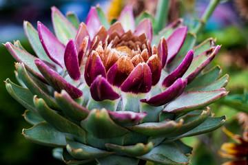 Beautiful colored succulent cacti flower with vivid tones