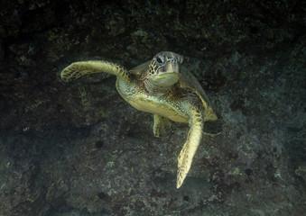 Green sea turtles of Hawaii