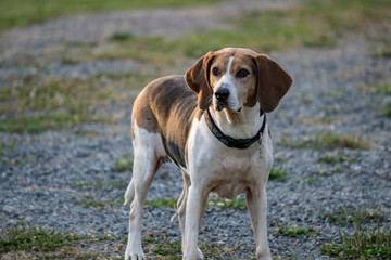 coonhound portrait