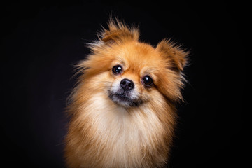 Lovely Pomeranian dog looks at camera on black background. Cute dog get curious something. Charming doggy has beautiful brown hair or brown fur. It looks innocent. It has good health and look adorable