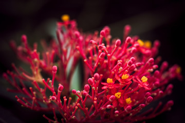 grevillea - red spider flower