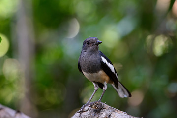 Oriental magpie-robin, they are common birds in urban gardens as well as forests.