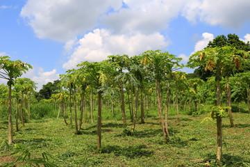 papaya trees plantation. papaya ochard in a hill valley Thailand.
