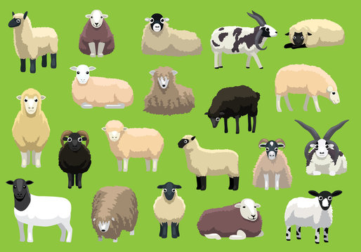 Various Sheep Breeds Poses Cartoon Vector Characters