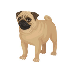 Flat vector portrait of standing pug puppy. Home pet. Small domestic dog with cute wrinkled face and curled tail