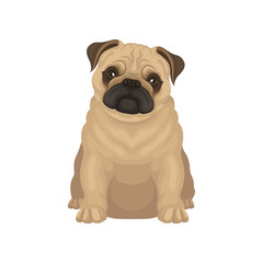 Cute pug puppy sitting isolated on white background. Small dog with round head and short muzzle. Flat vector design