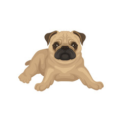 Flat vector icon of pug puppy lying isolated on white background. Small dog with beige coat, wrinkled muzzle and shiny eyes
