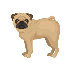 Flat vector portrait of standing pug puppy, side view. Small dog with round head, short muzzle and beige coat