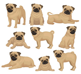 Flat vector set of pug puppy in different poses. Cute dog with short beige coat, wrinkled muzzle and curled tail. Home pet