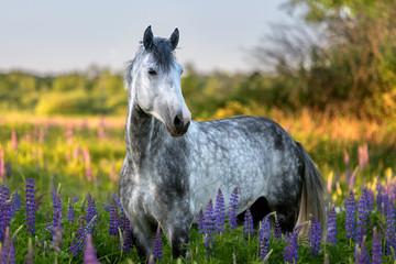 Portrait of a purebred Arabian horse among lupine flowers.