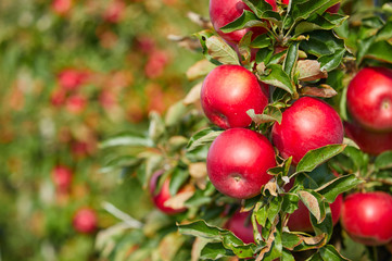fresh red apples on a tree