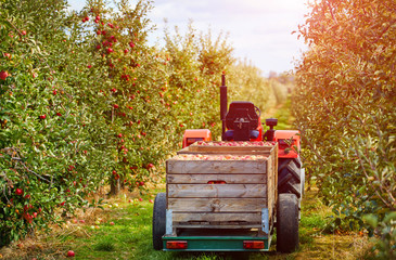 Old tractor with trailer in the apple trees orchard