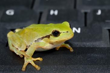 Green tree frog sitting on computer keyboard