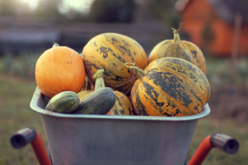 harvesting harvest/ big mountain of ripe pumpkins in blurry outlines of a garden cart on the background of a vegetable garden in the fall