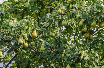 Beautiful ripe pears on a big tree