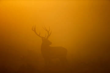 Red deer stand in the early morning mist in Bushy Park in London