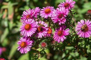 Honeybee Flying to New England Aster Flowers