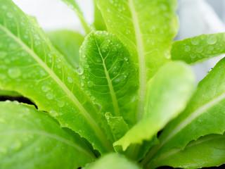 Cos lettuce plant