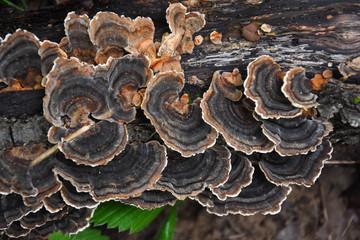 Trametes bracket fungus on dead trunk, healthy mushrooms on tree