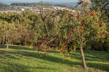 Apfelbaum mit roten Äpfeln an Hanglage mit Siedlung im Hintergrund