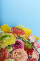 Close up of multi-coloured ranunculus on blue background