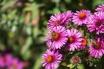 Honeybee on New England Aster Flowers