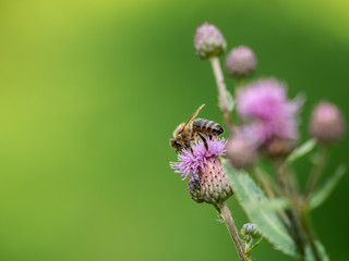 Bee on the purple thistle closeup. Green isolated backrgound.