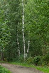 Birken an einem Waldweg