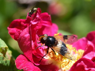 The hoverfly Volucella pellucens sitting on a pink rose flower