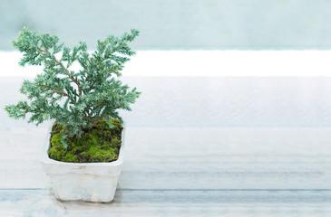 Bonsai or Dwarf pine tree in a pot
