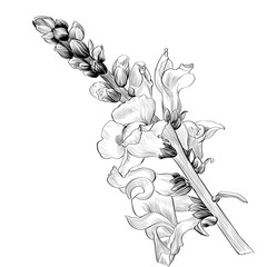 Vector illustration. A branch with flowers and buds on a white background. Medicinal, perfume and cosmetic plants. Antirrhinum-garden flowers. Use printed materials, signs, posters, postcards.