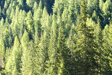 Background of coniferous forest