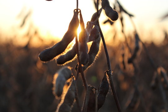 soybean field at sunset 1