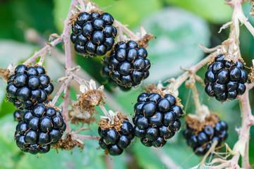 Moras. Zarzamora. Rubus ulmifolius. Frutas del bosque.