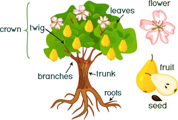 Parts of plant. Morphology of pear tree with fruits, flowers, green leaves and root system isolated on white background