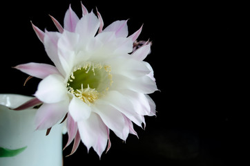 delicate white flower of a cactus on a dark background