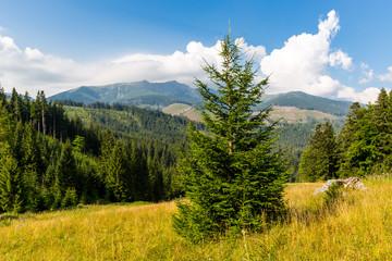 pine tree on mountain meadow