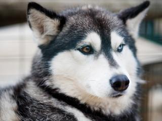 Dog husky close-up. Portrait of dog huskies