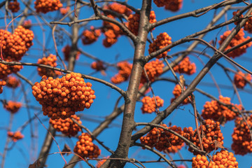 Bunches of bright red Rowan berries on a branch