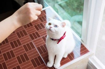 Cat Scottish white fluffy cute little animal,Cat two color eyes eating food at home
