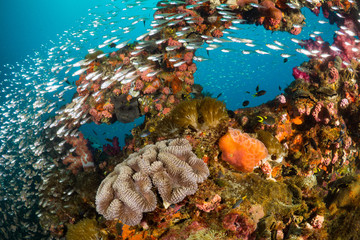 Poster Naufrage Vibrant coral reef with hundreds of glass fish at the SS Yongala ship wreck, Great Barrier Reef, Australia