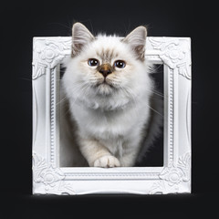 Beautiful tabby point Sacred Birman cat kitten stepping with white paw through a white picture frame looking curious up, isolated on black background