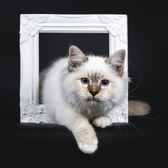 Beautiful tabby point Sacred Birman cat kitten standing with two white paws through a white picture frame looking beside lens, isolated on black background