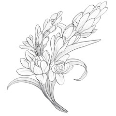 Vector image. Tuberose - branches. Medicinal, perfumery and cosmetic plants. Wallpaper. Use printed materials, signs, posters, postcards, packaging.  Line drawing. Branch with buds and flowers.