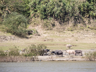 Cattle on the side of the river