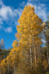 Birch with yellow leaves
