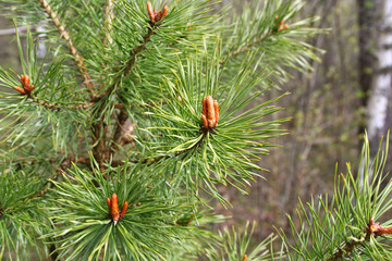 Branches of coniferous tree