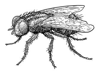 Fly illustration, drawing, engraving, ink, line art, vector